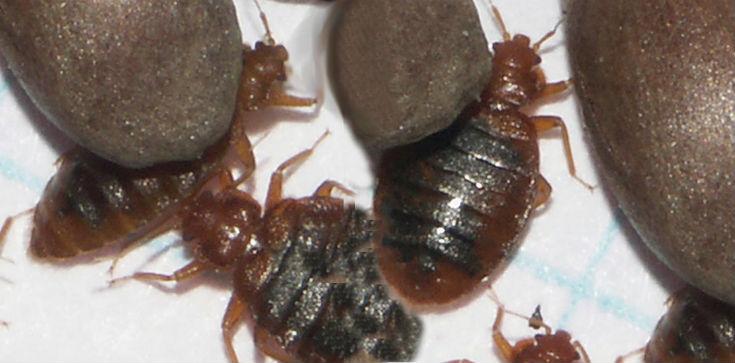 bedbugs_735x363